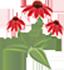 L'échinacée Sombrero « Salsa Red »